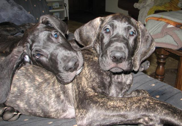 Duke and Cameo at 11 weeks