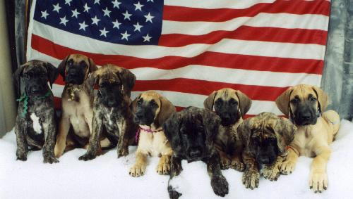 Carly's puppies at 7 weeks
